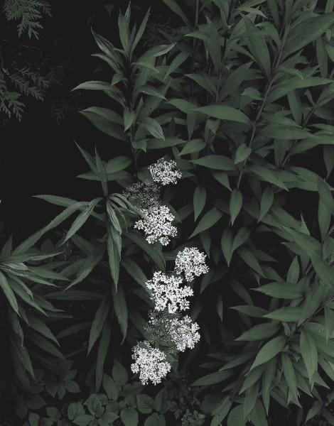 Peter-Cornell Richter #022166 o.T. (Weiße Blüten), 1/3, 2015 Fotografie, Pigmentfarbe auf Papier 34,4 x 27 cm (Passepartout 50 x 40 cm) 1250 €
