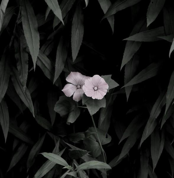 Peter-Cornell Richter #022170 Kleine Malve, 1/3, 2016 Fotografie, Pigmentfarbe auf Papier 30,5 x 30,1 cm (Passepartout 50 x 40 cm) 1250 €
