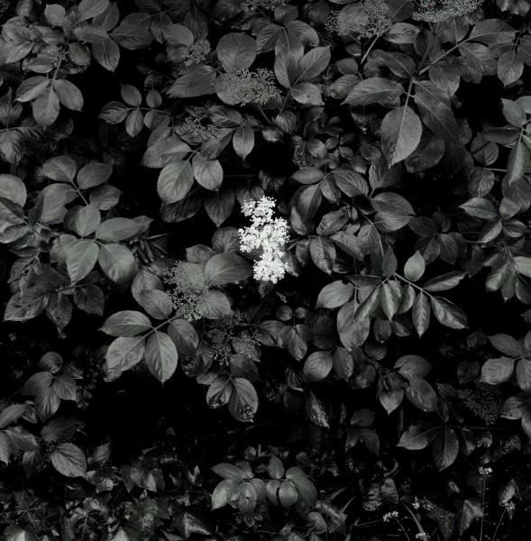 Peter-Cornell Richter #022173 o.T. (Holunder), 1/3, 2017 Fotografie, Pigmentfarbe auf Papier 30 x 30 cm 1250 €