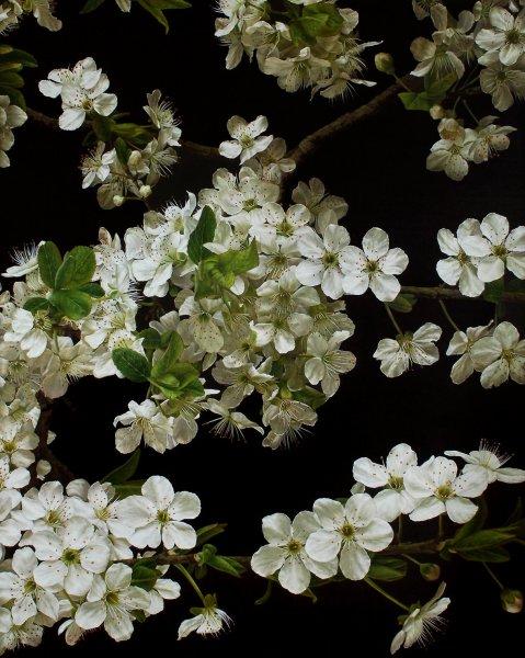 Mia Tarney, Cherry Blossom, 2011