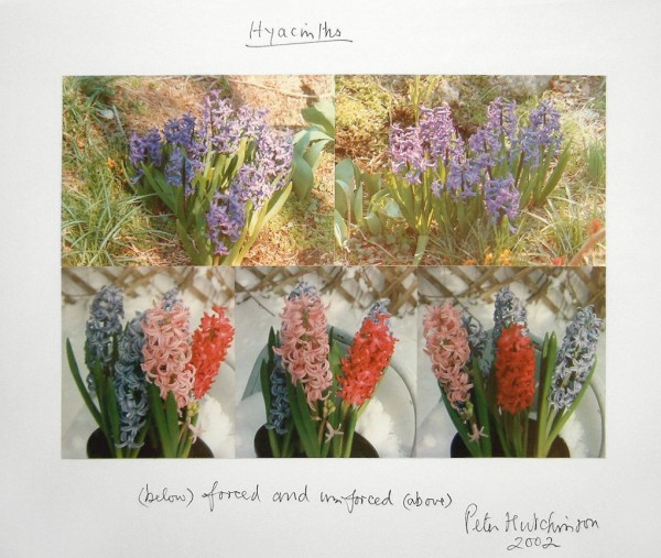 PETER HUTCHINSON, Hyacinths, 2002