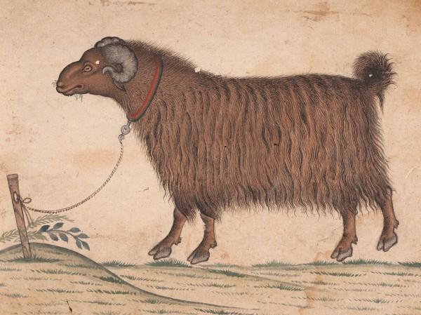 A Himalayan Ram