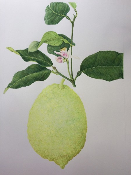 Fay Ballard Citrus Medica Watercolour