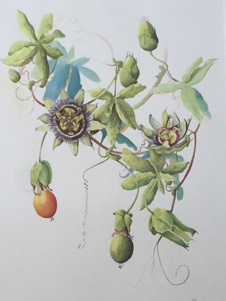 Fay Ballard Passion Flower watercolour