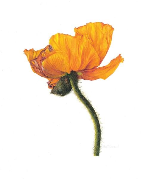 Fiona Strickland, Oriental poppy (Papaver orientale)