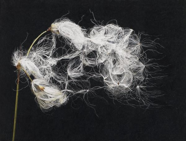 Rosie Sanders, Cotton Grass
