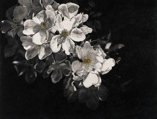 Rosie Sanders, White Roses 'Wedding Day'