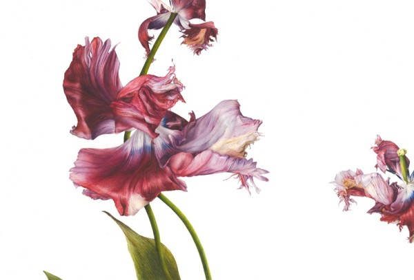 Fiona Strickland, Tulipa, 'Estella Rijnveld' II