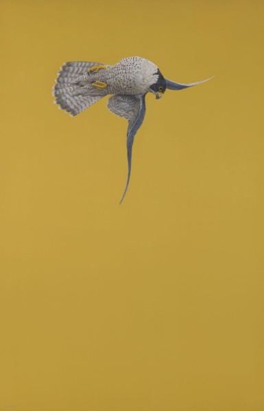 Tim Hayward, Yellow Stoop (Peregrine Falcon)