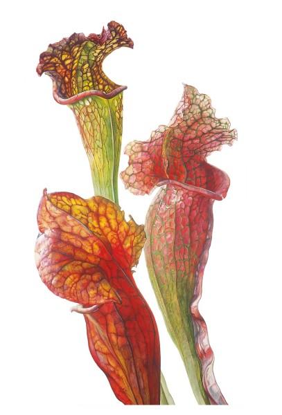 Rosie Sanders, Sarracenias