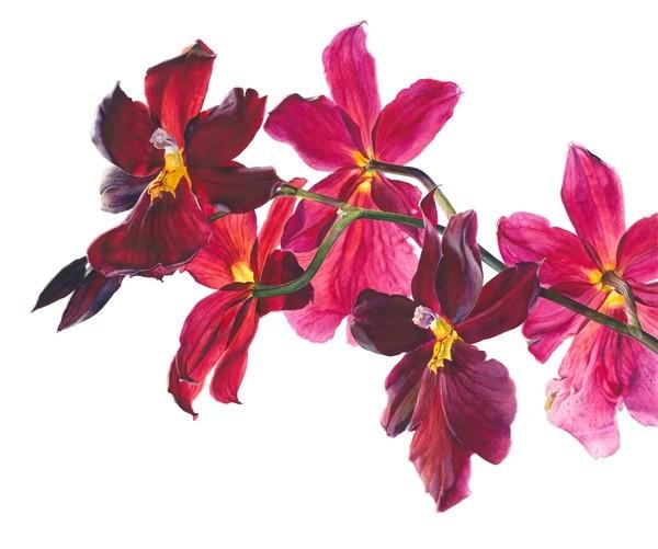 Rosie Sanders, Burrageara Nelly Isler Flowering II
