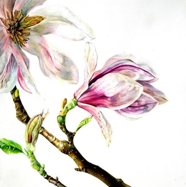 Rosie Sanders, Magnolia x Soulangiana 2