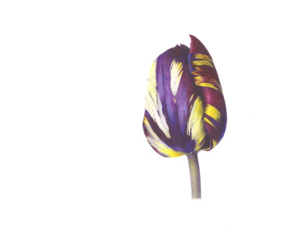 Fiona Strickland, Tulipa 'Absalon'