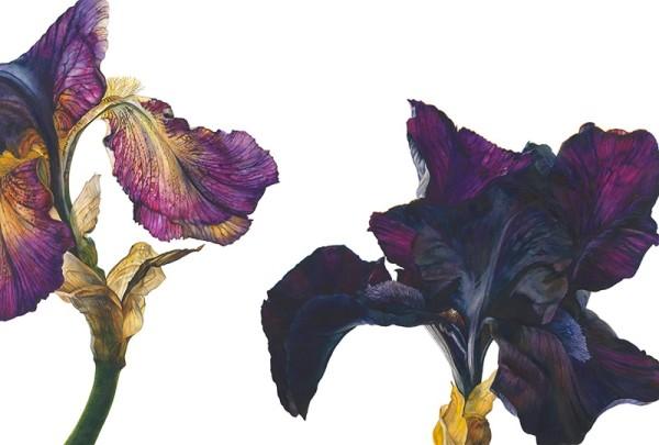 Rosie Sanders, Purple and Yellow Iris