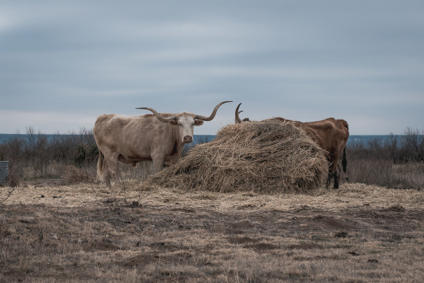 Chris Chastain, Palo Duro Cattle, 2020