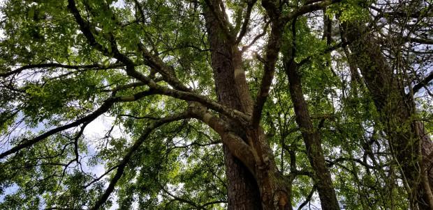 Kate Osborn, Crown of Trees, 2020