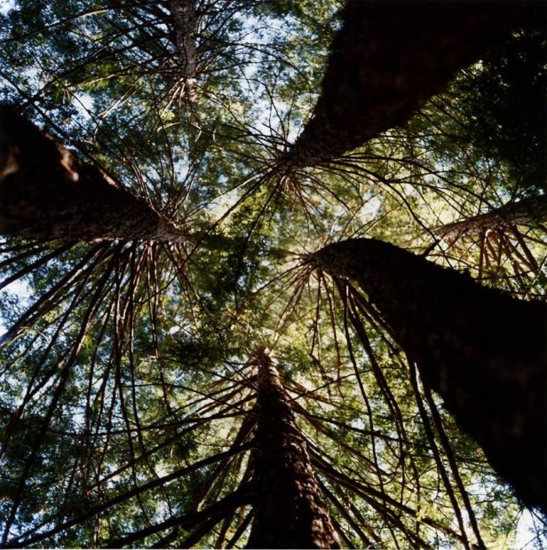 Redwood Vortex, Napa, California, 2005