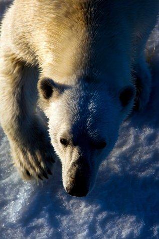Polar Bear: Nanuk