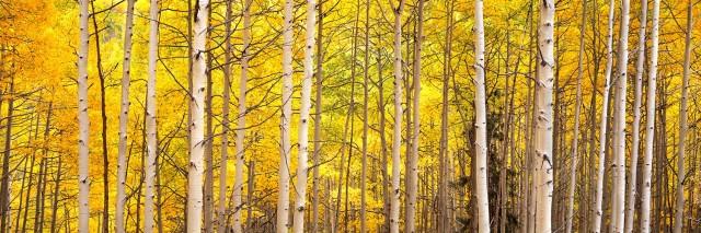 Shimmering Aspen Forest