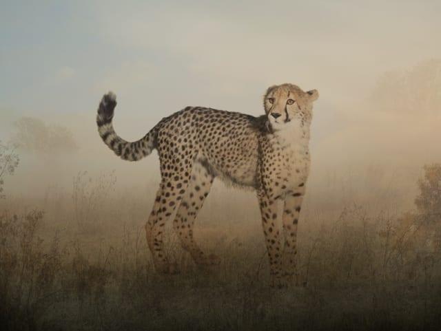 Rory Carnegie, 'Peyton, Cheetah',