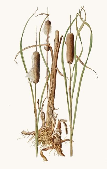 Jessica Tcherepnine, Bulrushes (Typha latifolia)