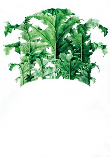 Corinthian Capital (Acanthus mollis latifolius)