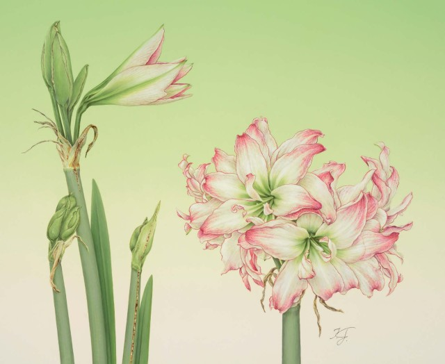 """Amaryllis, 2014 (Hippeastrum c. """"Aphrodite"""")"""