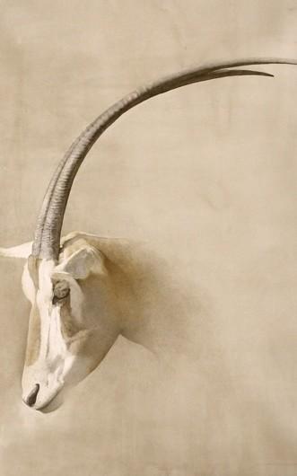 Orice - Antelope