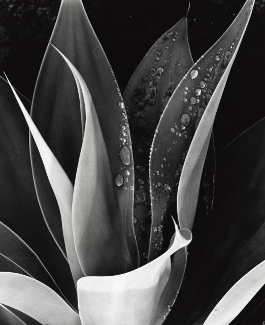 Untitled (Agave, Paradise Park)