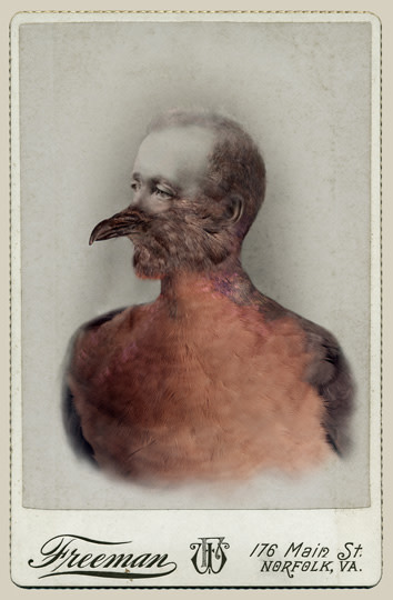 Sara Angelucci  Aviary (Male Passenger Pigeon/extinct), 2013  Chromogenic print flush mounted to archival board  16 ¾ x 24 ¼ inch (42.55 x 61.6 cm)  Edition of 15 (#One/15)
