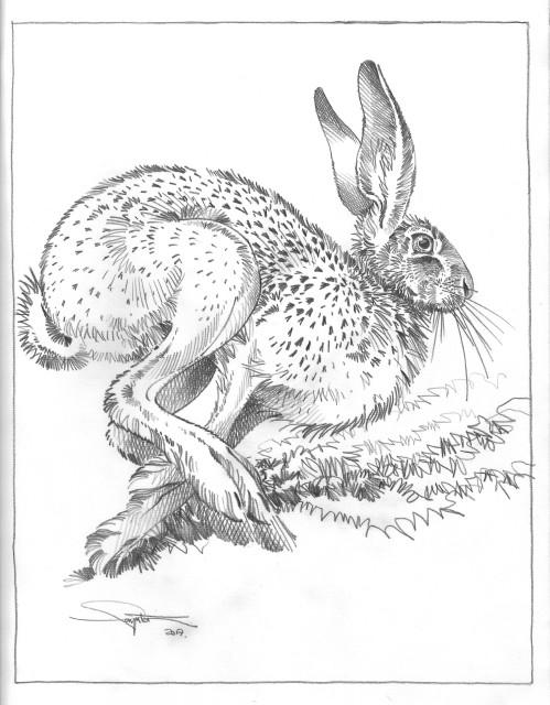 Wild Brown Hare VI
