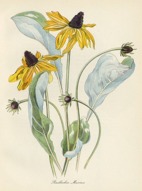 JOHN NASH RA - English Garden Flowers & Woodblock Engravings