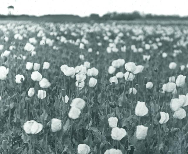Rev. C.H. Stileman, Opium poppies, Julfa, Late 19th Century