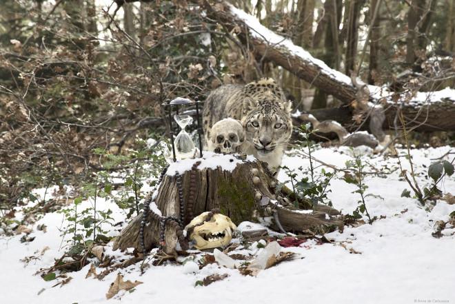 Anne de Carbuccia, Snow Leopard 1