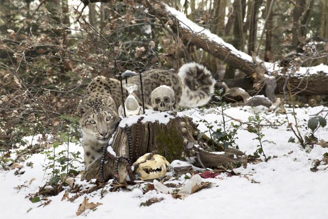 Anne de Carbuccia, Snow Leopard 3