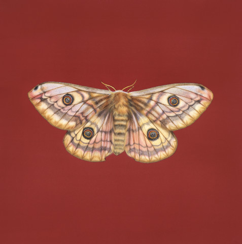 Jennifer Hooper, Giant Emperor Moth