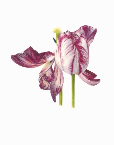 Fiona Strickland, Tulipa 'Mabel' (English Florists' Tulip)