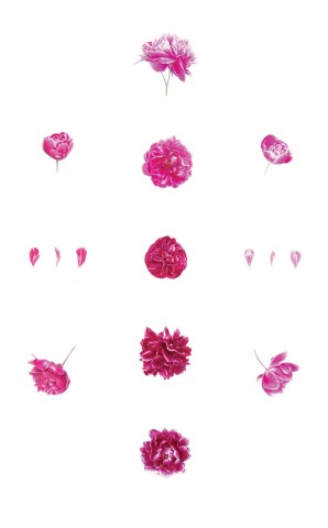 Coral Guest, The Phenology Cabinet of the Incandescent Petal: Series I Magenta Cultivars of Paeonia Lactiflora from 19th C