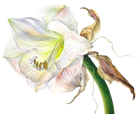 Rosie Sanders, Amaryllis Apple Blossom Flowering II