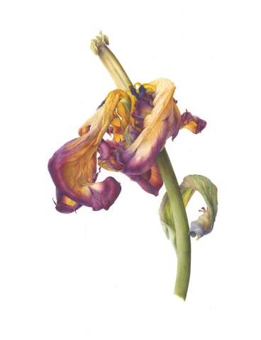 Fiona Strickland, Tulipa
