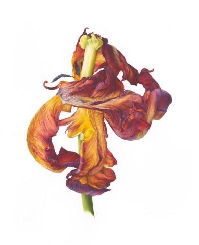 Rococo (Tulipa 'Rococo')