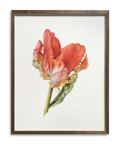 Parrot Tulip, Rococo (Tulipa 'Rococo')