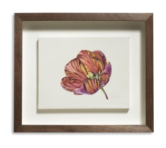 Open Absalon (Tulipa 'Absalon')