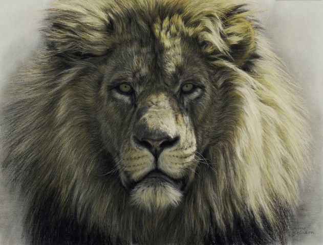 gary stinton  study of african lion u0026 39 s face