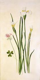Siberian Iris and Oxalis