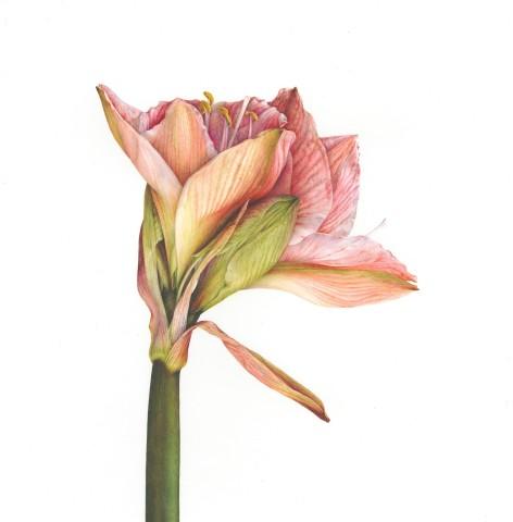 Hippeastrum (Hippeastrum 'Apple Blossom')