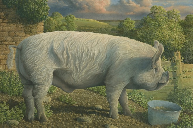 Middle White Pig