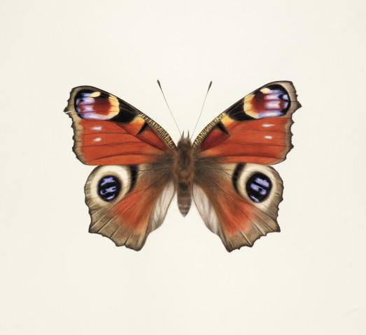 Jennifer Hooper, Giant Peacock Butterfly