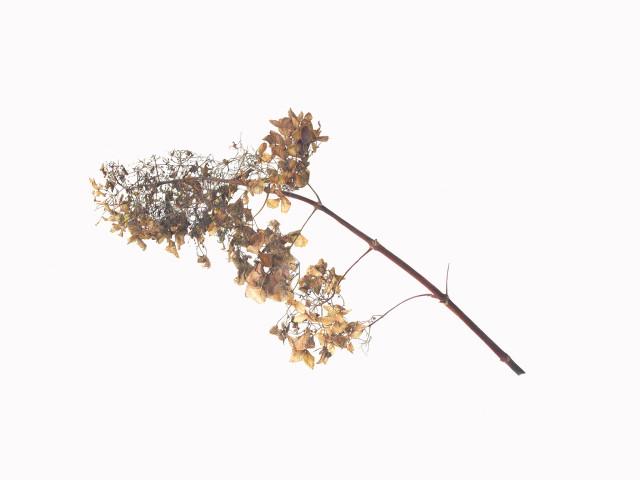 Fiona Strickland, Hydrangea pinniculata