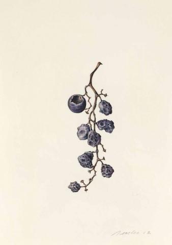 Kate Nessler, Concord Grapes (16)